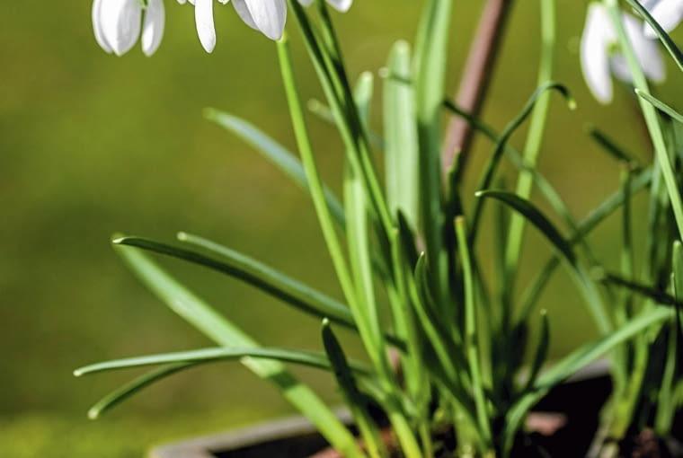 Przebiśnieg to jeden z pierwszych zwiastunów wiosny.