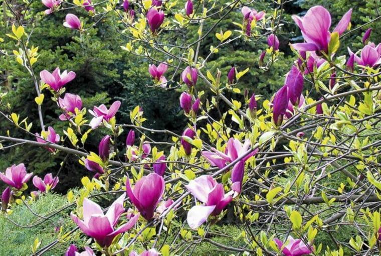 Magnolia purpurowa 'Nigra' (Magnolia liliiflora). Rośliny kwitnące dwukrotnie w ciągu roku