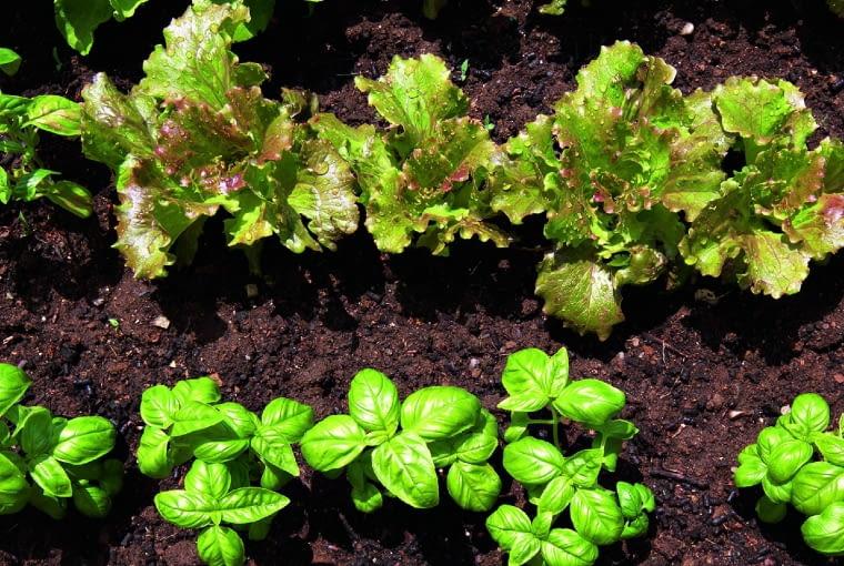 Sałaty i zioła lepiej nawozić preparatami organicznymi.