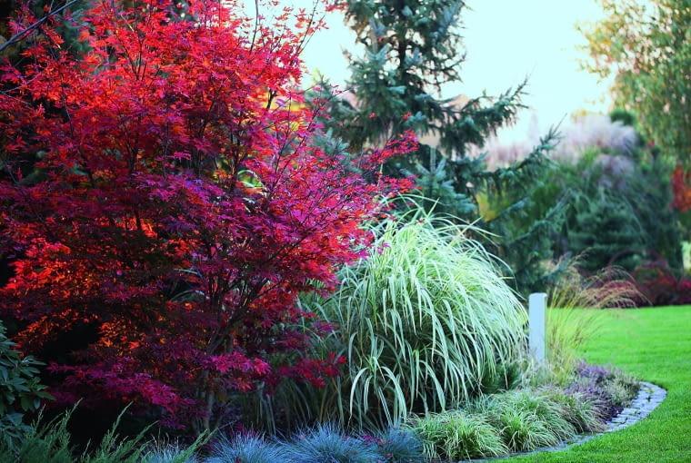 Jesienią klon palmowy 'Atropurpureum' jeszcze mocniej kontrastuje z miskantem chińskim 'Variegatus', gdy jego liście przebarwiają się na kolor jaskrawej czerwieni.