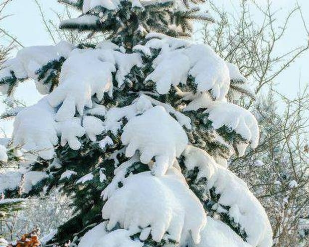 SLOWA KLUCZOWE: abies algierska conifer drzewo iglaste jodla nunntida szyszka