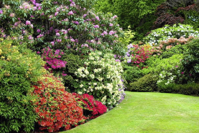B0XFX9 rhododendrons and azaleas in english garden. Image shot 2008. Exact date unknown. SLOWA KLUCZOWE: rhododendrons and azaleas in english garden green grass lawn cultivated plants planting flowers flowering summer gardening neat formal borders colourful colorful british horticulture britain uk