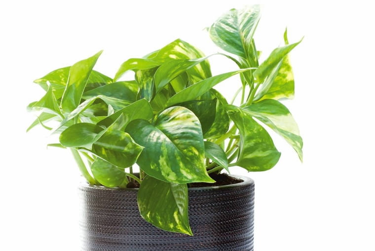 Roślina dobra do łazienki - scindapsus