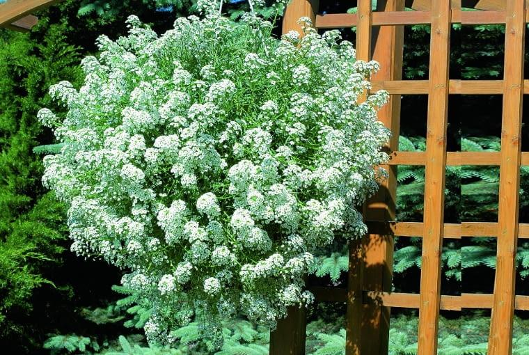 """Smagliczka """"Snow Princess"""" w wiszącym pojemniku rozrasta się w piękną kwiatową kulę. Roztacza miodowy aromat."""