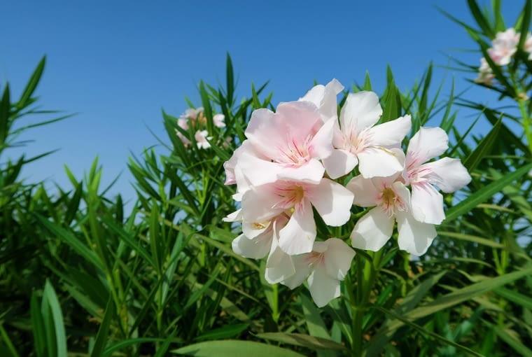 Oleander pospolity