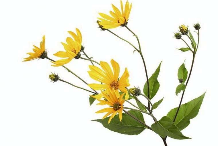 Słonecznik bulwiasty ma do 3 m wzrostu. W słonecznych miejscach w ogrodzie może tworzyć kwitnący latem żywopłot.
