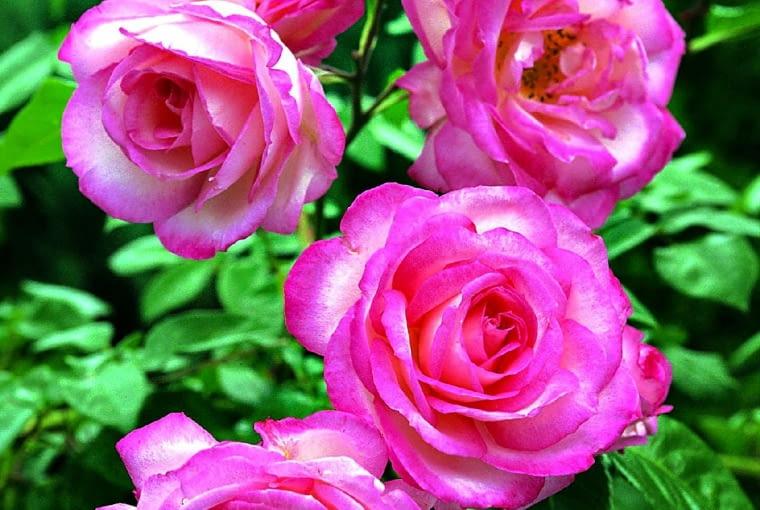 'Harlekin' - róża pnąca, wys. 2 m, kwiaty o śr. 9 cm i zmiennych wzorach.