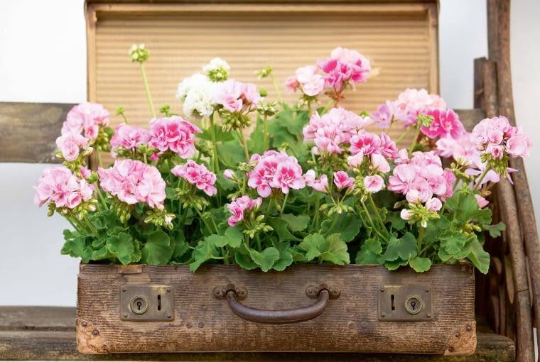 Klasyczną urodę pelargonii rabatowych podkreśla niecodzienna oprawa ze starej walizki.
