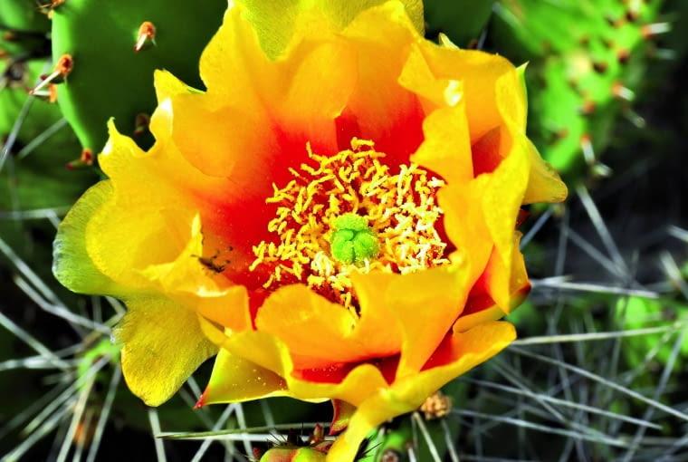 Opuntia camanchica rosnąc wmocno nasłonecznionym miejscu, kwitnie iowocuje. Owoce można jeść - są bardzo smaczne, ale wcześniej trzeba usunąć z nich kolce.