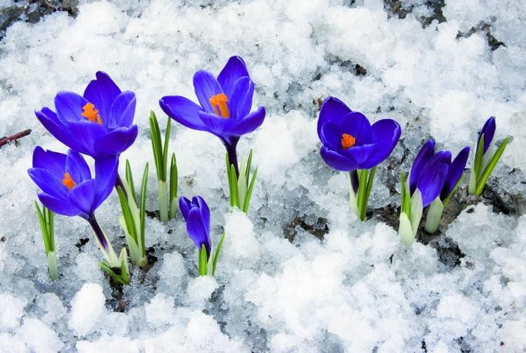 Wczesne krokusy lekkiego mrozu się nie boją. Nawet jeśli obsypie je śnieg, w słoneczne dni szeroko otwierają swoje kielichy.