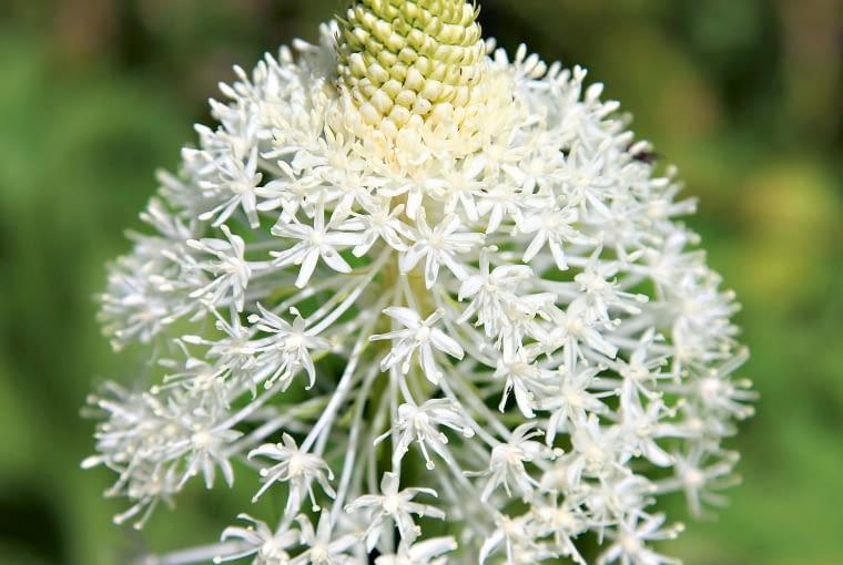 KILKULETNIE OKAZY 'niedźwiedziej trawy' tworzą metrowe łodygi do połowy wysokości pokryte liśćmi, ale krótszymi niż te z przyziemnej rozety. Nad nimi, począwszy od dołu, rozwijają się kremowe kwiaty (fot. 2). Powstają z nich owoce (fot. 1) z trójkątnymi w przekroju nasionami.