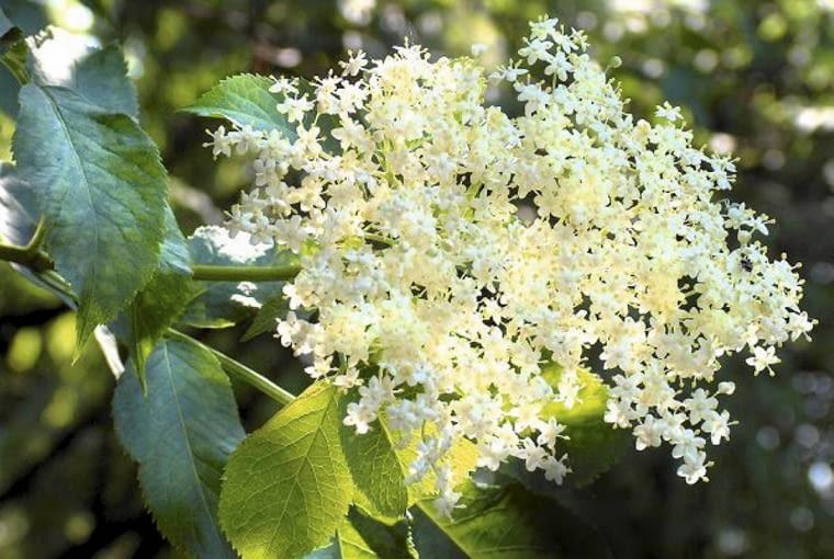 Czarny bez ma białe kwiaty