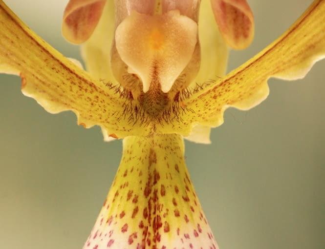 Storczyk, kwiat cięty, kwiat doniczkowy