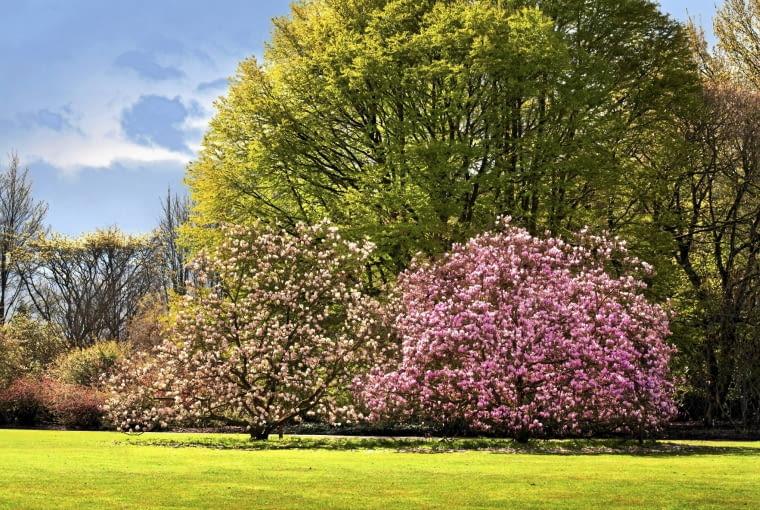 'Betty' i 'Suzan' - te niewysokie magnolie dobrze wyglądają sadzone grupami.
