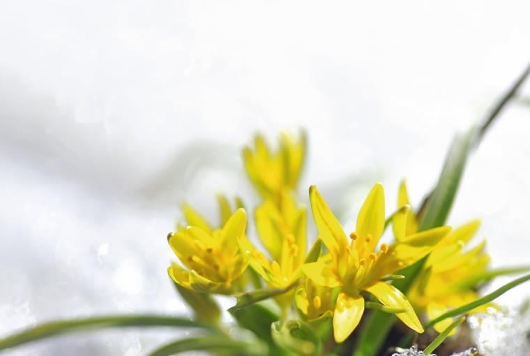 Złoć żółta (Gagea lutea) kwitnie na przedwiośniu pod bezlistnymi drzewami. Osiąga wys. ok. 20 cm.