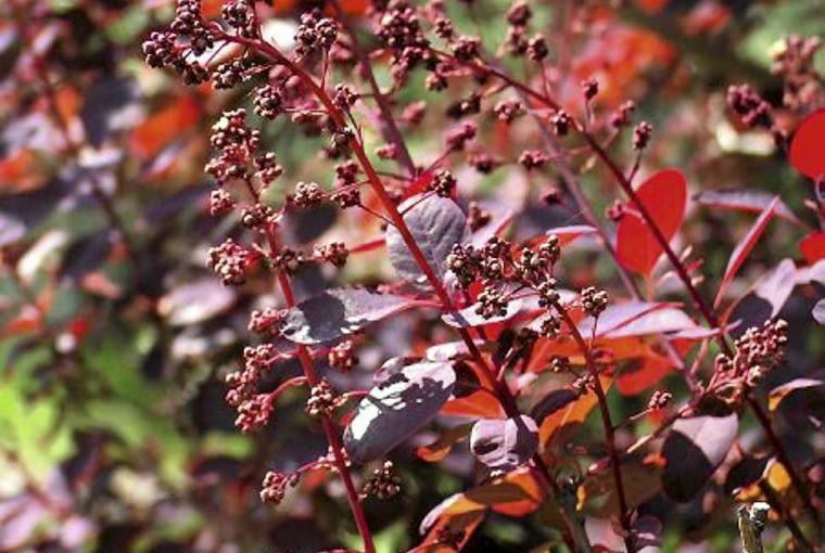 Perukowiec 'Rubrifolius' zielenieje pod koniec sezonu