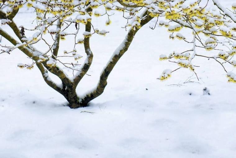 Oczar pośredni 'Pallida' kwitnie w lutym i marcu, więc często jego kwiaty pokrywa śnieg