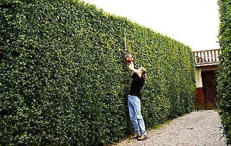 Od wiosny do jesieni żywopłot z ałyczy stanowi zwartą, gęstą, zieloną ścianę, pod warunkiem że jest często przycinany.
