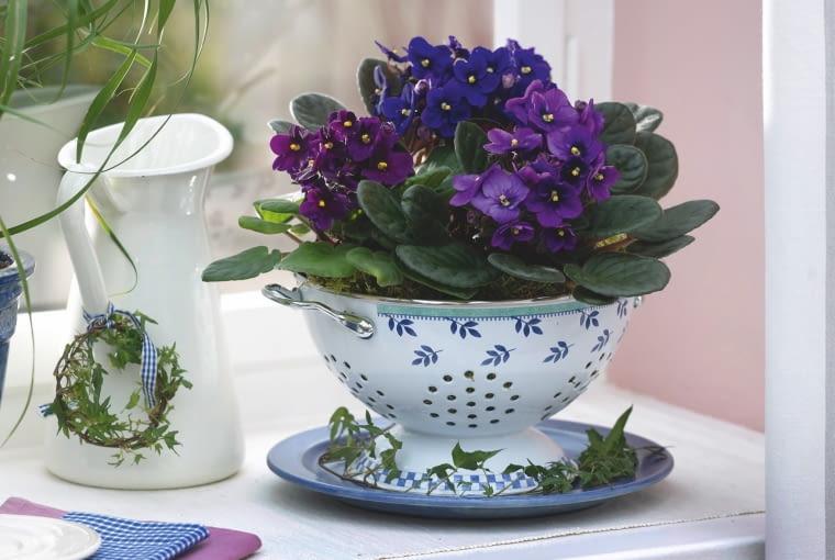 Fiołki afrykańskie słynące z kwiatów o wielu barwach najlepiej się czują w cieple. Zimą powinny stać przy samym oknie.