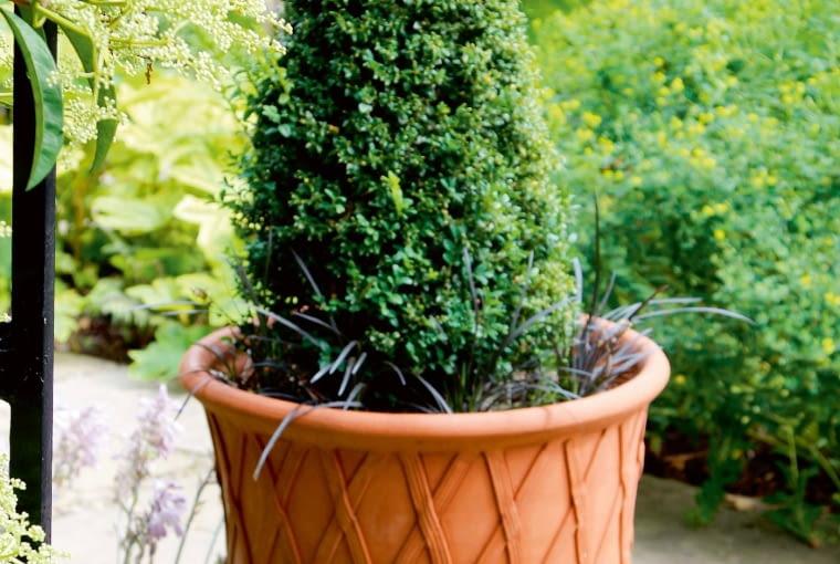 Wdonicach bukszpany wprost kochają rosnąć. Iświetnie się wnich prezentują. Stąd tyle ich wmoim ogrodzie. Ten stożek upodstawy ma kryzę ztrawiastych liści czarnych konwalników.