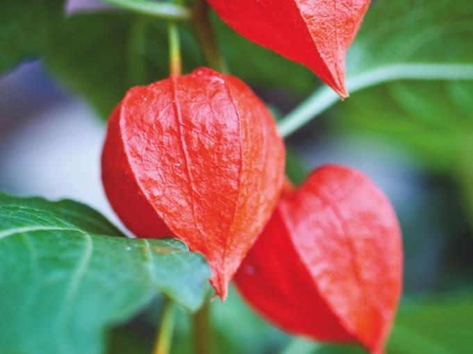 JESIEŃ: Osłonki i owoce stają się ciemnopomarańczowe, podobne do orientalnych lampionów - Anglicy nazywają więc roślinę chińską latarenką (Chinese latern).