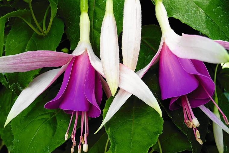 Fuksja 'MINI ROSE' ma pokrój zwisający i dużo drobnych kwiatów.