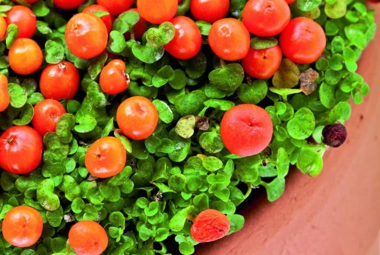 Nertera. Roślina miniaturowa: owalne listki osiągają długość tylko 5 mm, zielonkawe kwiaty - 3 mm, a owoce - do 6 mm. Te ostatnie mogą być białe, czerwonopomarańczowe lub intensywnie pomarańczowe. Jak o nią dbać? Woli półcień. Wymaga regularnego podlewania; podłoże powinno być zawsze jednakowo wilgotne, ale korzenie nie mogą stać w wodzie. Zimą powinna odpoczywać w temperaturze od 10 do 12 st. C.