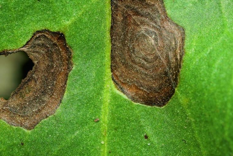 Na Blaszce liściowej powstają brązowe pierścienie. Przyczyna: pierścieniowa plamistość liści.