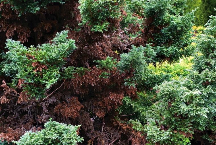 NA IGŁACH CYPRYSIKA BRĄZOWE PLAMY pokryte szarym nalotem. Przyczyna: szara plesń.