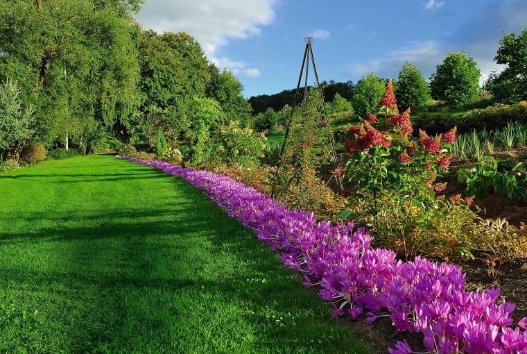 WSTĘGA ZIMOWITÓW jesiennych znaczy rabatę z czerwieniejącą hortensją bukietową.