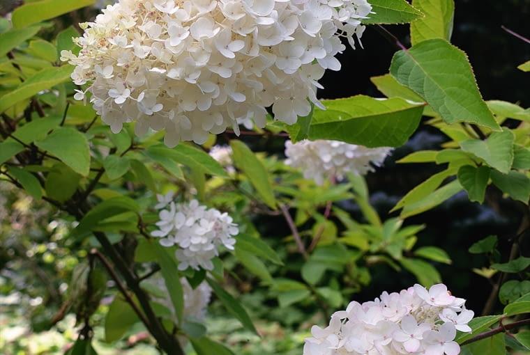 Hortensja Bukietowa (Hydrangea paniculata)