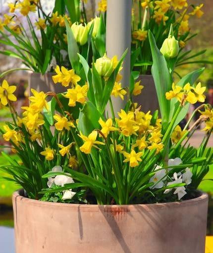 W narcyzach jest tyle słonecznego blasku, że kilka białych bratków i tulipanów wcale nie ujmuje im wiosennego ciepła.