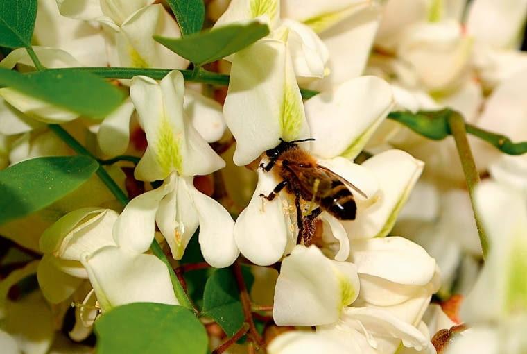 Robinia akacjowa, zwana też akacją, kwitnie obficie w maju, silnie pachnie.