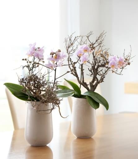Storczyk Falenopsis (Phalaenopsis). Kwiaty doniczkowe