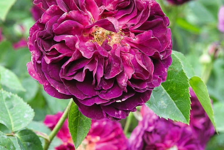 SLOWA KLUCZOWE: regents park anglia rosa roza CHIANTI