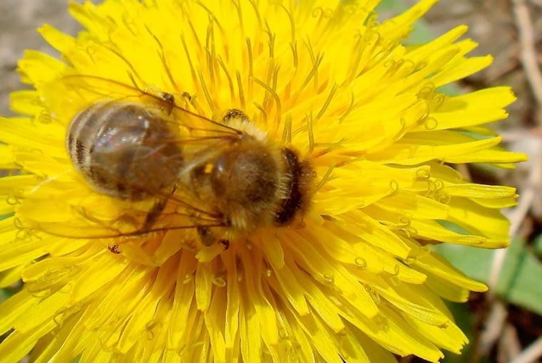 Mniszek lekarski kwitnie w maju, np. jako chwast na trawnikach.