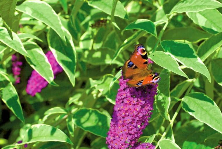 Budleja Dawida to ulubienica motyli