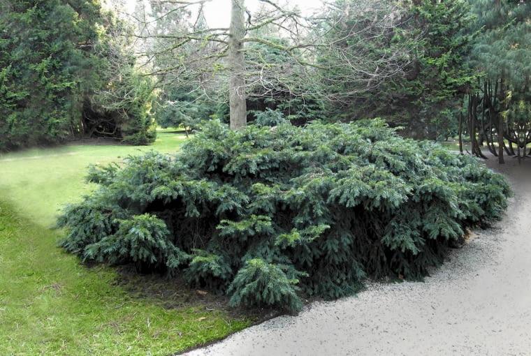 'Repandens' ma horyzontalnie rozłożone gałęzie