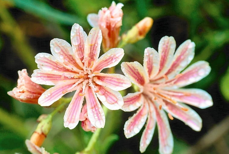 Klamath Mountains, California. Cloe-up of Heckner's Lewisia flowers.