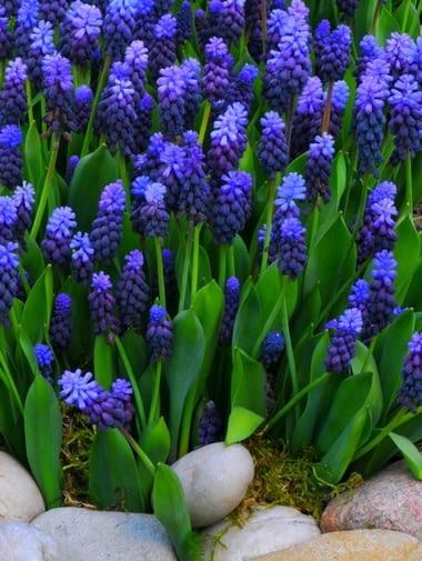 Szafirek Latifolium. Kwiaty cebulowe