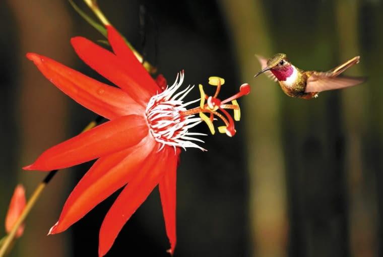 MĘCZENNICA SZKARŁATNA (P. coccinea) w naturze zapylana jest przez szukające nektaru kolibry.