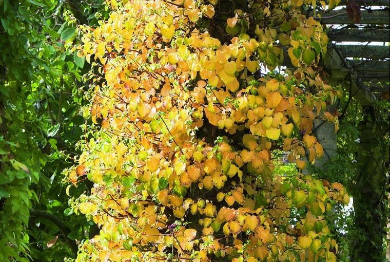 Jesień: Przebarwione na żółto liście zaczynają opadać dopiero późną jesienią, odsłaniając sploty brunatnych pędów.