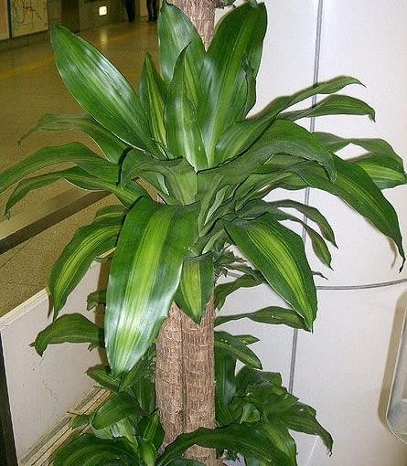Dracena wonna (Dracaena fragrans) 'Massangeana' jest podobna do juki, lecz może rosnąć w półcieniu. Łatwa w uprawie.