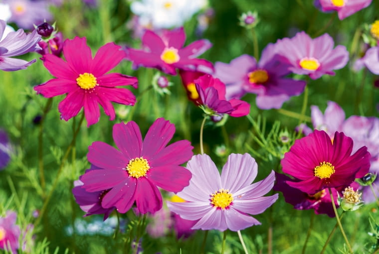 Kosmos, czyli onętek, jest najmniej wymagającym kwiatem jednorocznym.