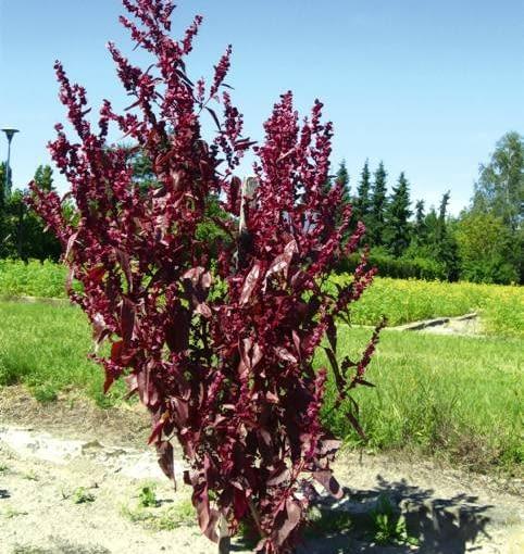 Czerwonolistna forma łobody ogrodowej jest w Europie Zachodniej poszukiwaną rośliną uprawną na chłodniki i sałatki. Jej nasiona również są jadalne