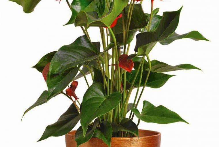 ANTURIUM najlepiej rośnie w świetle rozproszonym, w lekko wilgotnym podłożu.