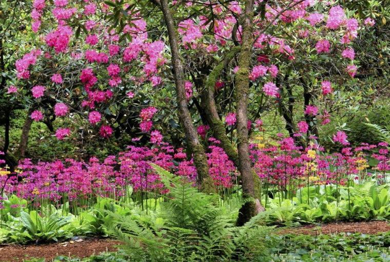 PIERWIOSNEK JAPOŃSKI osiąga 30-50 cm wysokości. Kwiaty zebrane w kilku okółkach pojawiają się od maja do lipca. Mogą być żółte, różowe, czerwone lub pomarańczowe.