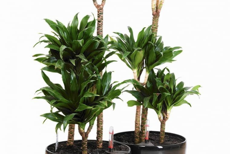 DRACENA WONNA ?COMPACTA? (Dracaena fragrans) w domowych warunkach ma krótkie liście, ale bardzo gęste. Jest bardzo odporna na brak światła.