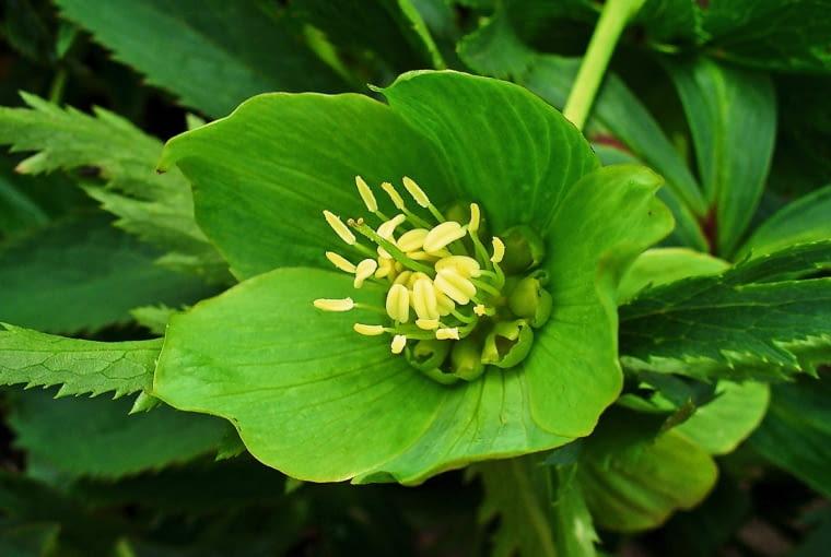 CIEMIERNIK ZIELONY (H. viridis) swą nazwę zawdzięcza barwie działek kielicha, które u tego gatunku lekko na siebie zachodzą.