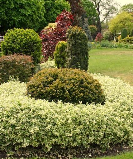 Ulubiony iglasty krzew można otoczyć obwódką z wysokich bylin czy liściastych krzewów, np. żywopłocikiem z trzmieliny.